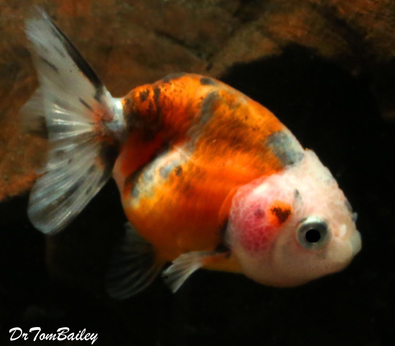Premium Calico Ranchu Goldfish