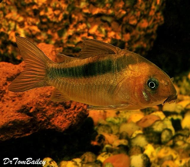 Premium Tank Raised, Rebauti Corydoras Catfish