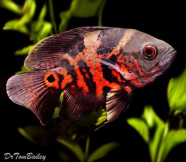 Premium Tiger Red Oscar Cichlid