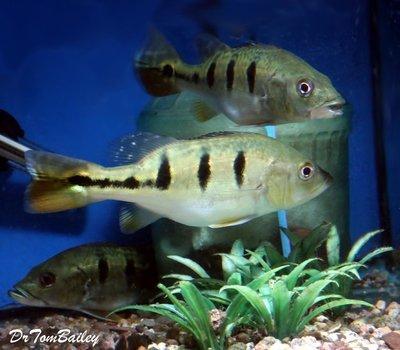 Premium Rare Bahia Kelberi Peacock Bass, can grow to be very large.
