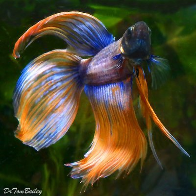 Premium MALE Rare Extremely Unique Betta Fish