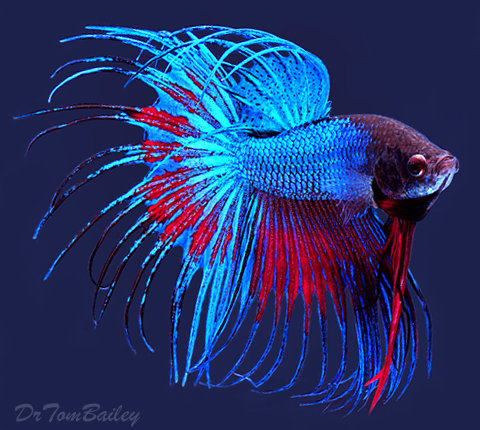 Premium MALE Extremely Unique Crowntail Betta Fish