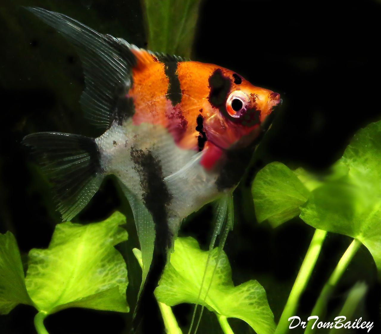 Premium Select Koi Angelfish