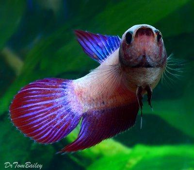 Premium FEMALE Cambodian Betta Fish