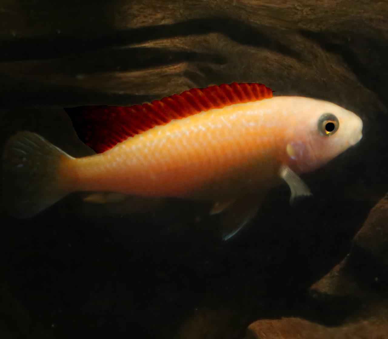 Premium New and Rare, Red Exasperatus Mbuna Cichlid