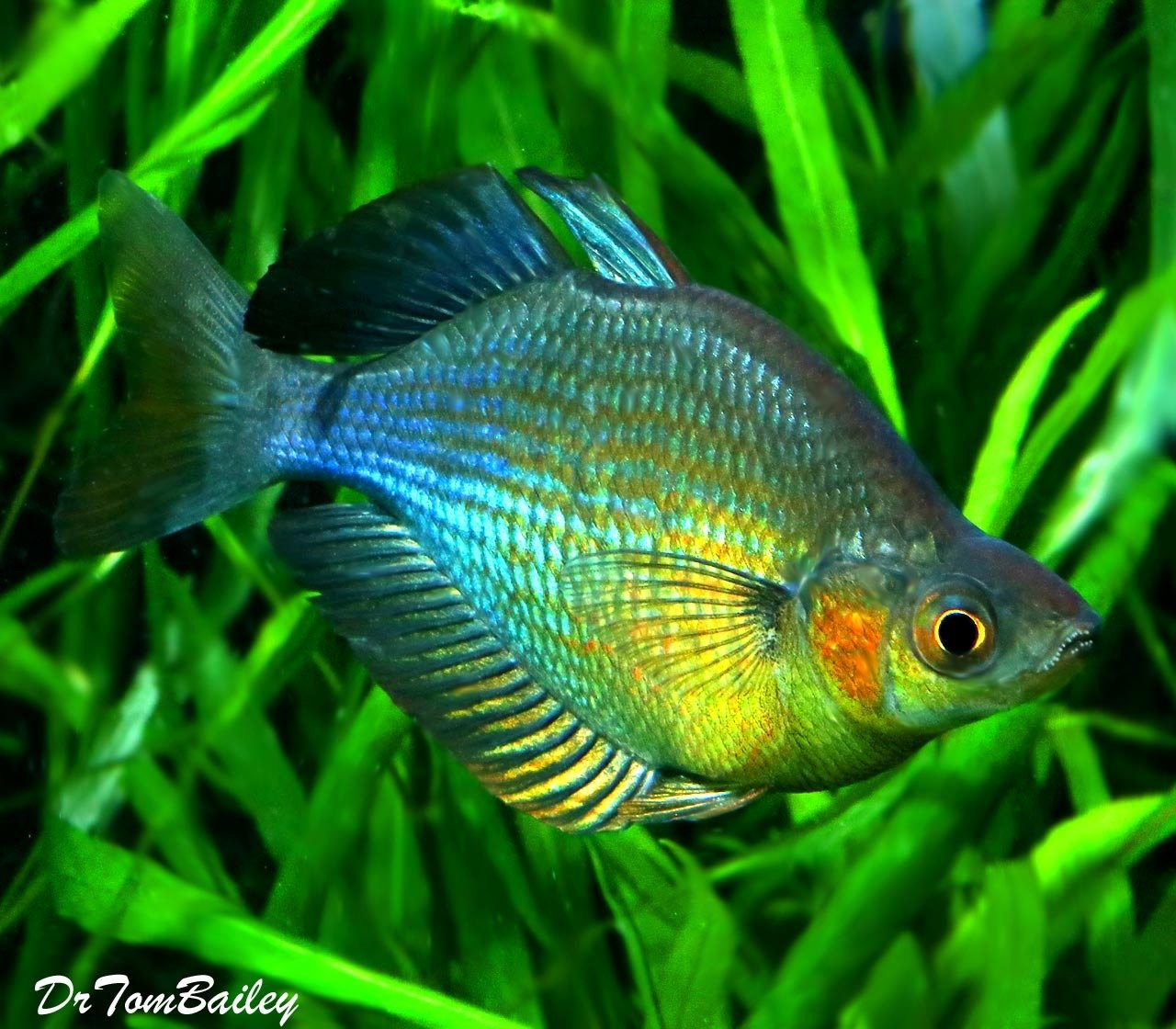 Premium Turquoise Rainbowfish