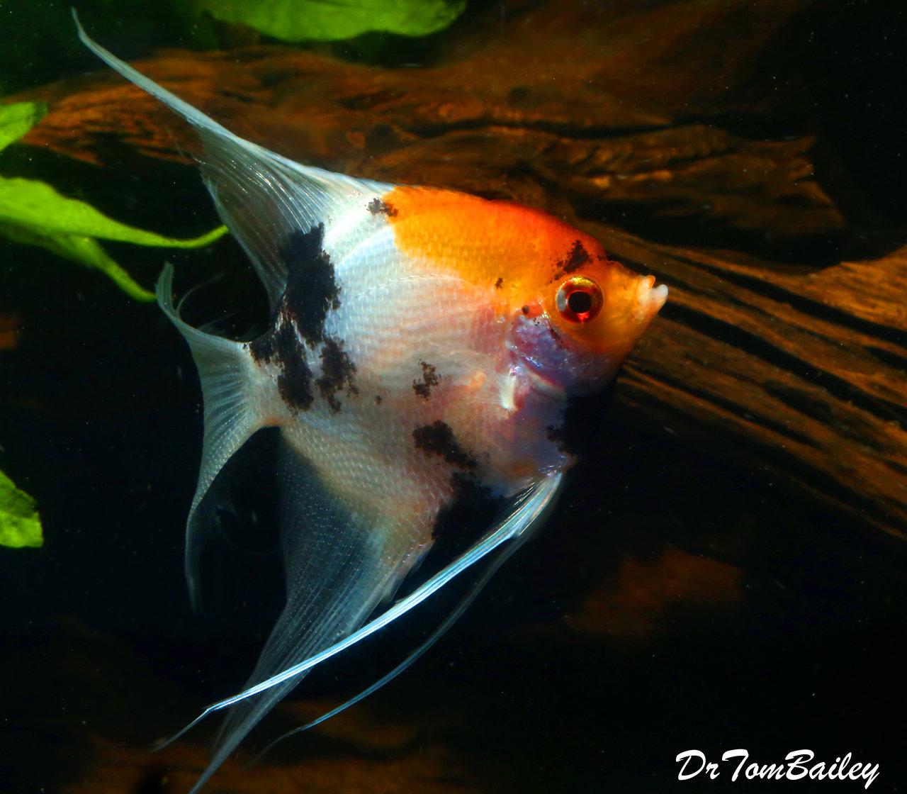 Premium Rare New, WYSIWYG Veiltail Koi Angelfish