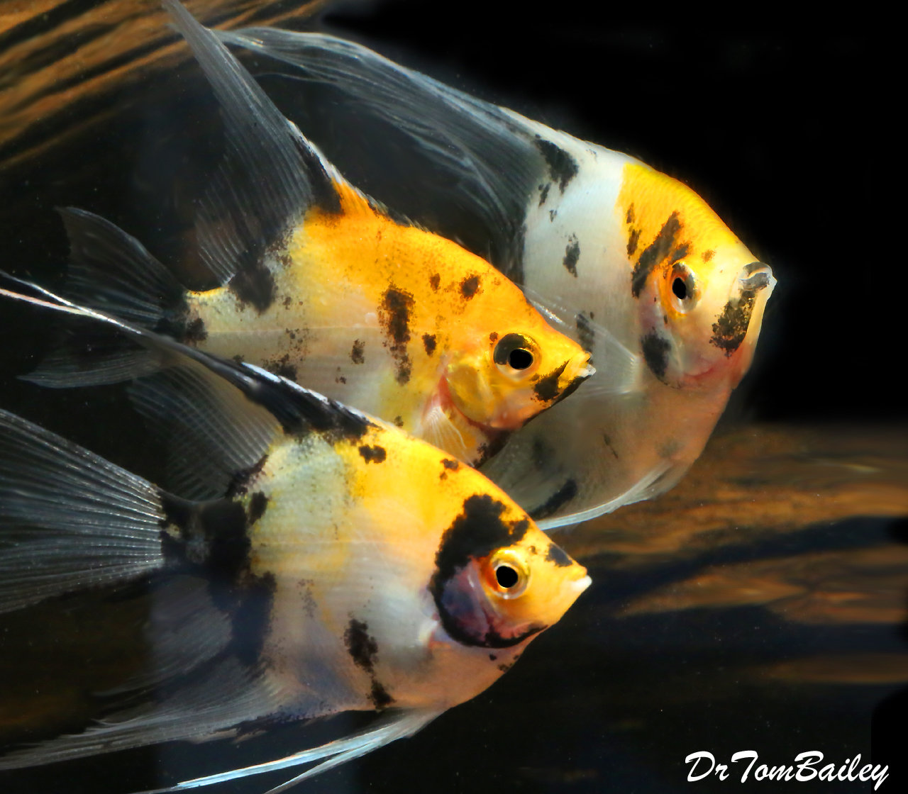 Premium Rare New, Veiltail Koi Angelfish