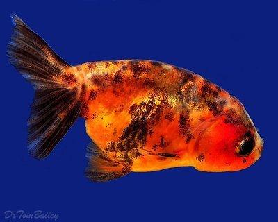 Premium Assorted Lionhead Goldfish