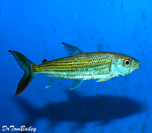 Premium Rare WILD, African Tiger Fish