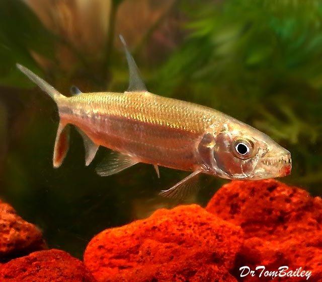 Premium WILD, Rare African Goliath Tiger Fish