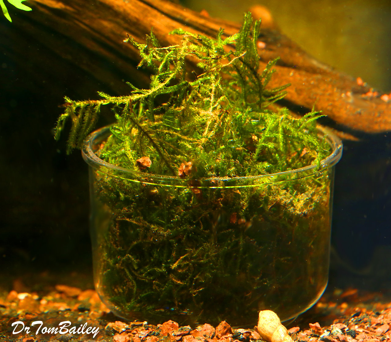Premium Java Moss, Bunched Plant in a Cup