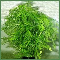 Premium Wisteria, Bunched Plant
