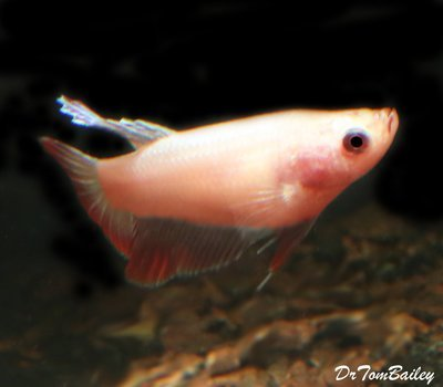 Premium FEMALE Pink Betta Fish