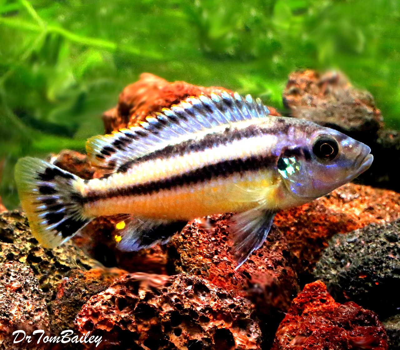 BABY Melanochromis Chipokae Mbuna Cichlid, from Lake Malawi, born here