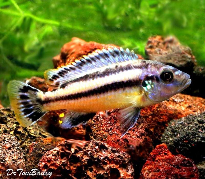 Lake Malawi Melanochromis Chipokae Mbuna Cichlid