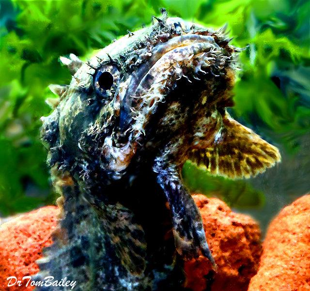 Premium WILD, Rare Marbled Lion Fish