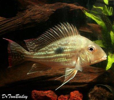 WYSIWYG WILD Suriname Eartheater,  Magnificent !! In our Aquarium G-11