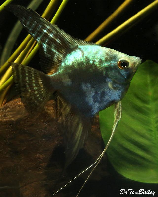 Premium Rare and New, Blue Smoke Pinoy Angelfish