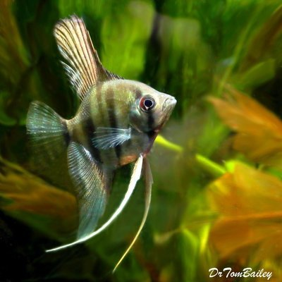 Premium Silver Angelfish