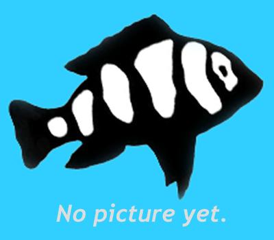 Premium FEMALE Blue Star Endler's Livebearer, Nano Fish