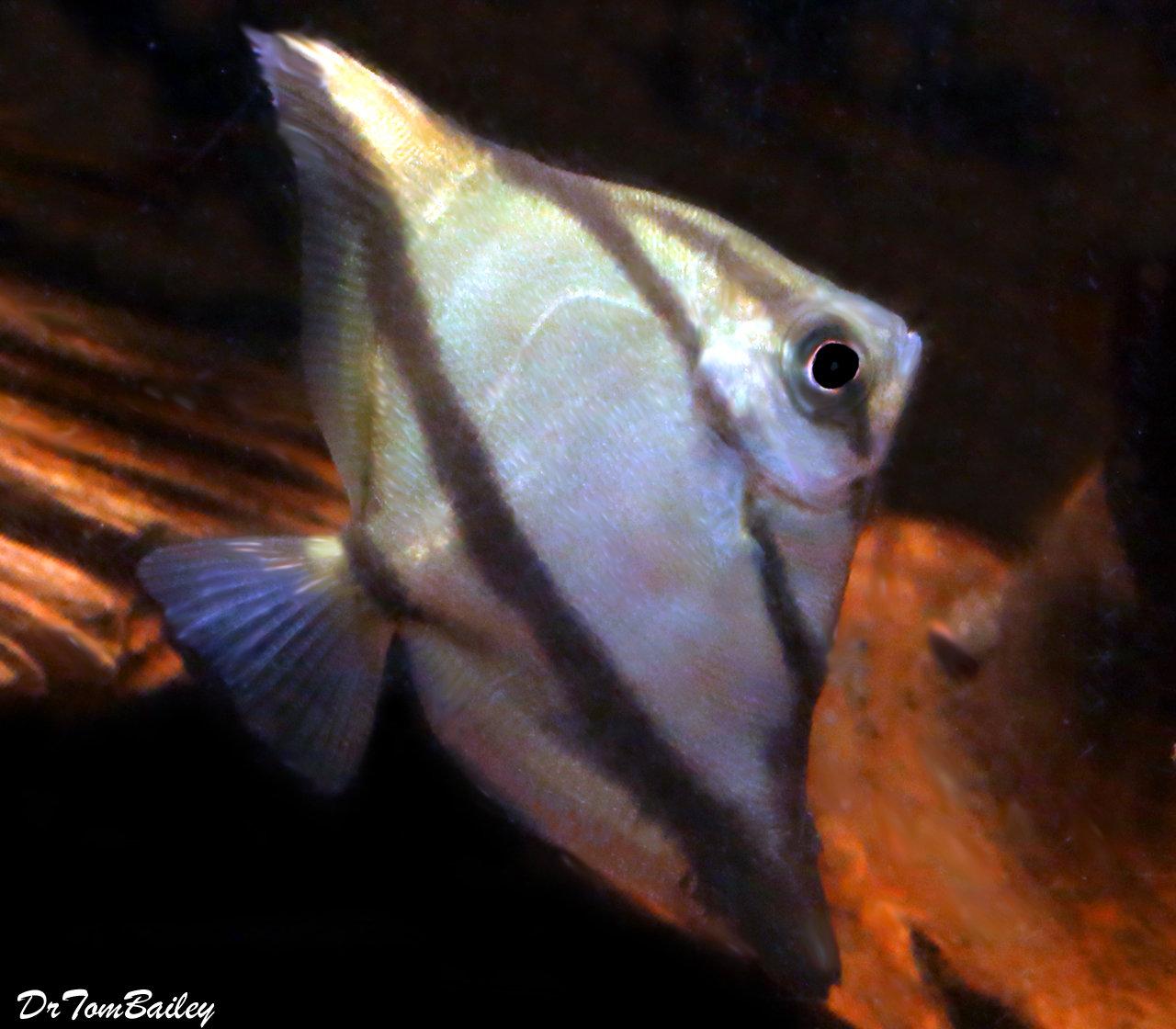 Premium Freshwater Mono. Sebae