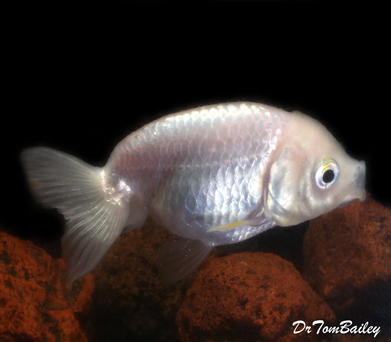 Premium Rare Pearl White Ranchu Goldfish
