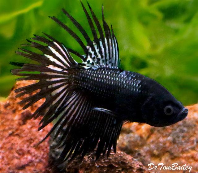 Premium MALE, Rare, Black Orchid Crowntail Betta Fish