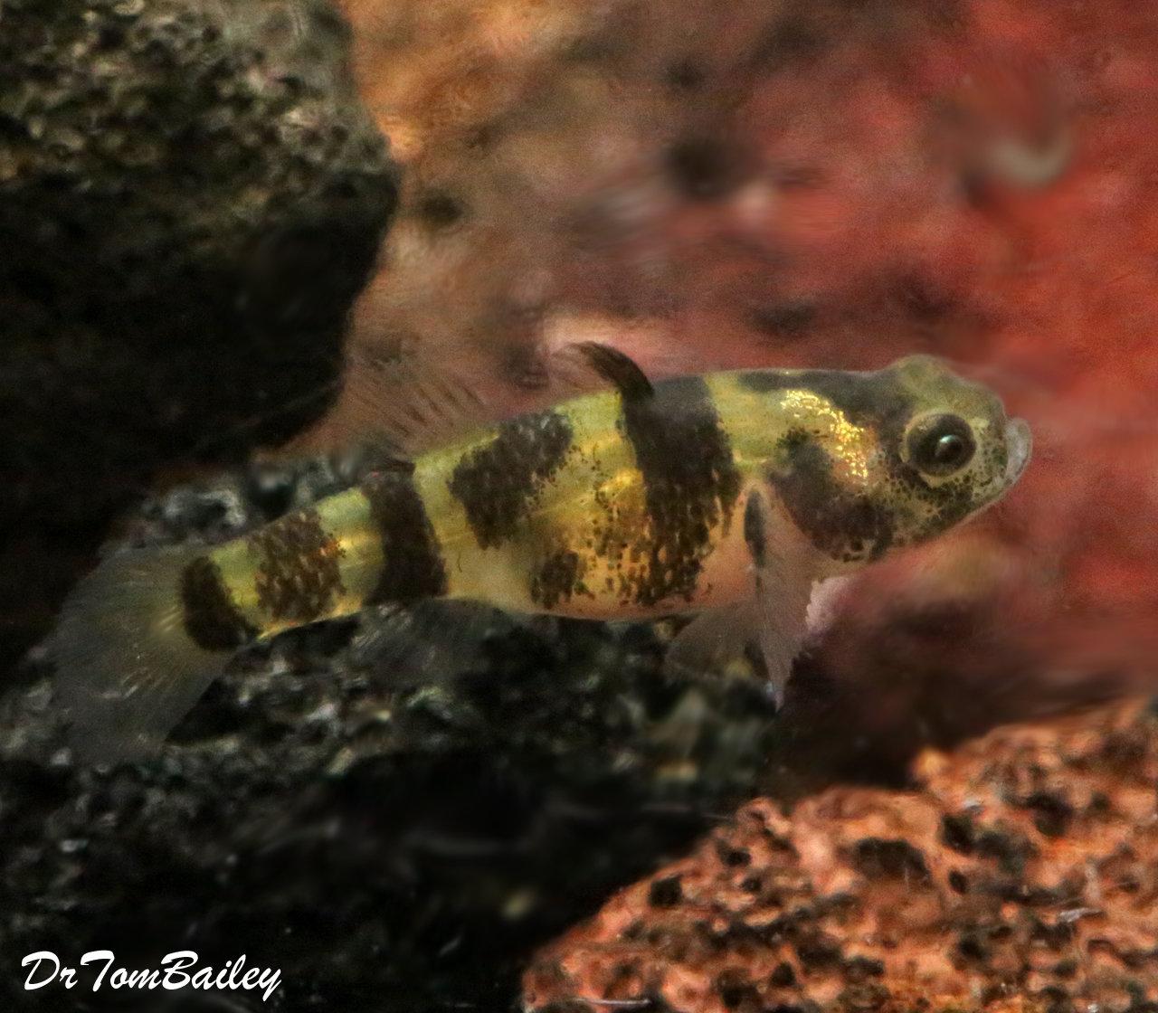 Premium Rare WILD, Freshwater Bumblebee Goby, Nano Fish