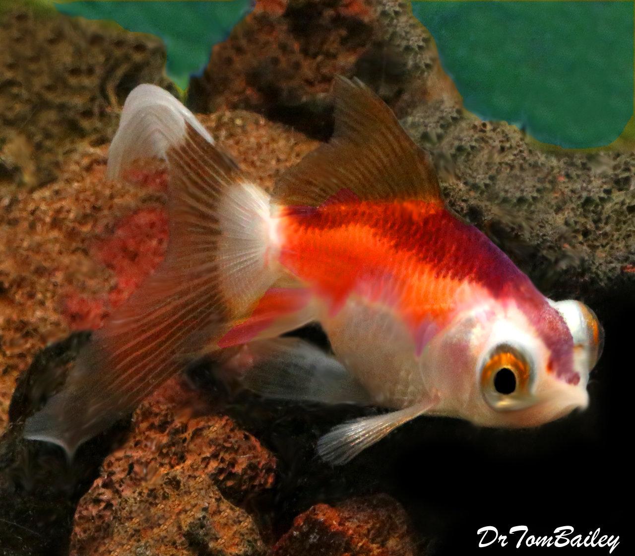 Premium TriColor Telescope Goldfish
