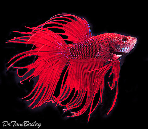 Premium MALE Red Crowntail Betta Fish