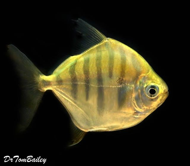 Premium Rare Tiger Silver Dollar Fish