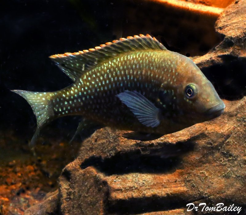 Premium Very Rare New, Danakilia Shukoray Cichlid, from Eritrea in Northeastern Africa