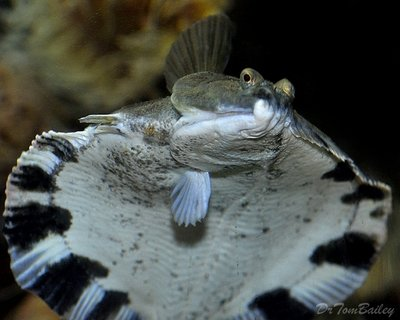 Premium Freshwater Flounder