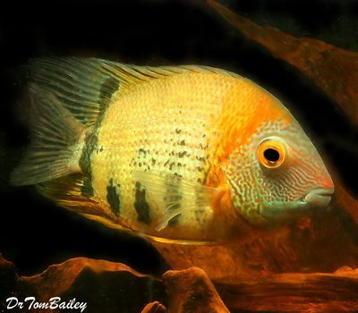 Premium WILD, Red Shoulder Severum Cichlid