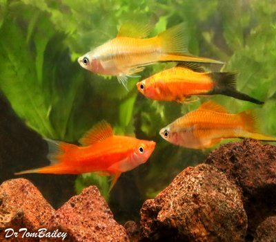 Premium MALE Assorted Swordtails, Males Only