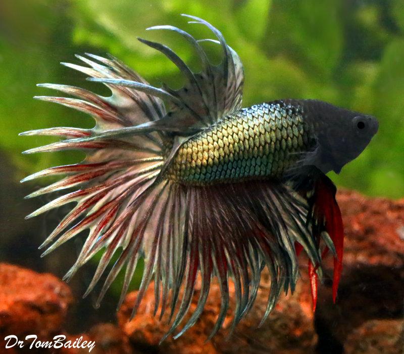 Premium MALE Green Crowntail Betta Fish