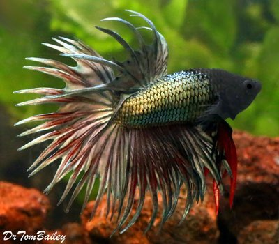 Premium MALE Green Crowntail Betta Fish