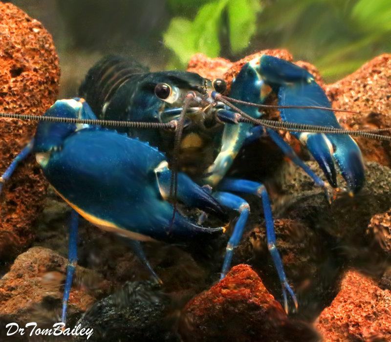Premium Rare Blue Moon II Lobster