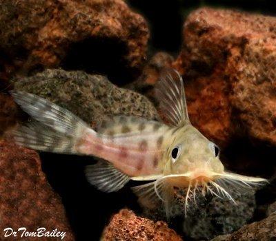 Premium Rare Synodontis Ocellifer Catfish