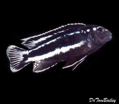 Premium New Lake Malawi Melanochromis Johannii Mbuna Cichlid