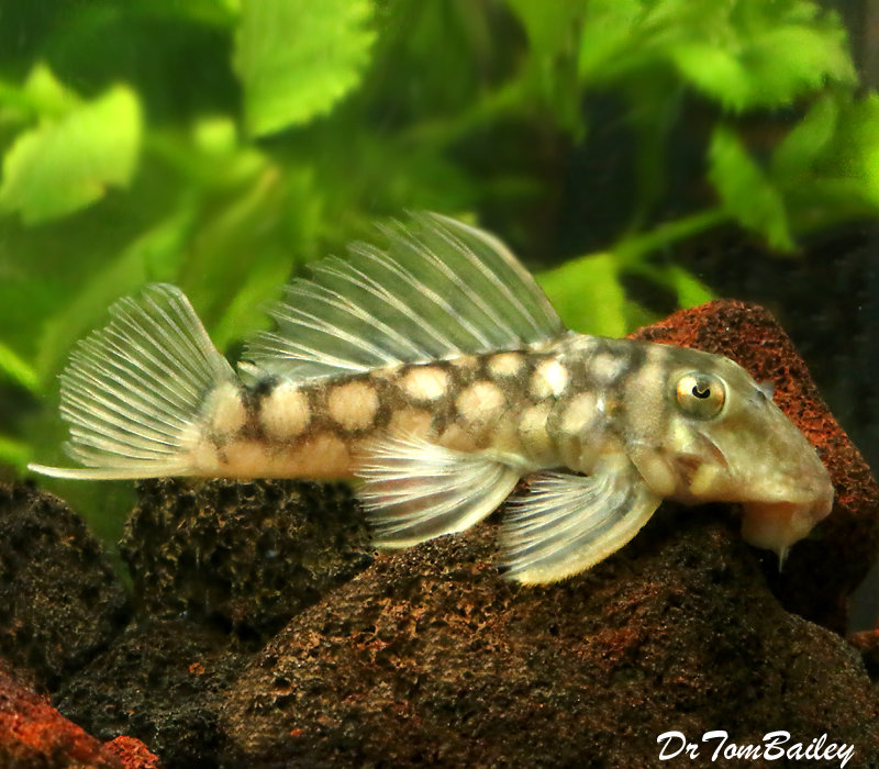 Premium WILD, Rare Polka Dot Plecostomus Catfish, Spectracanthicus zuanoni, L020