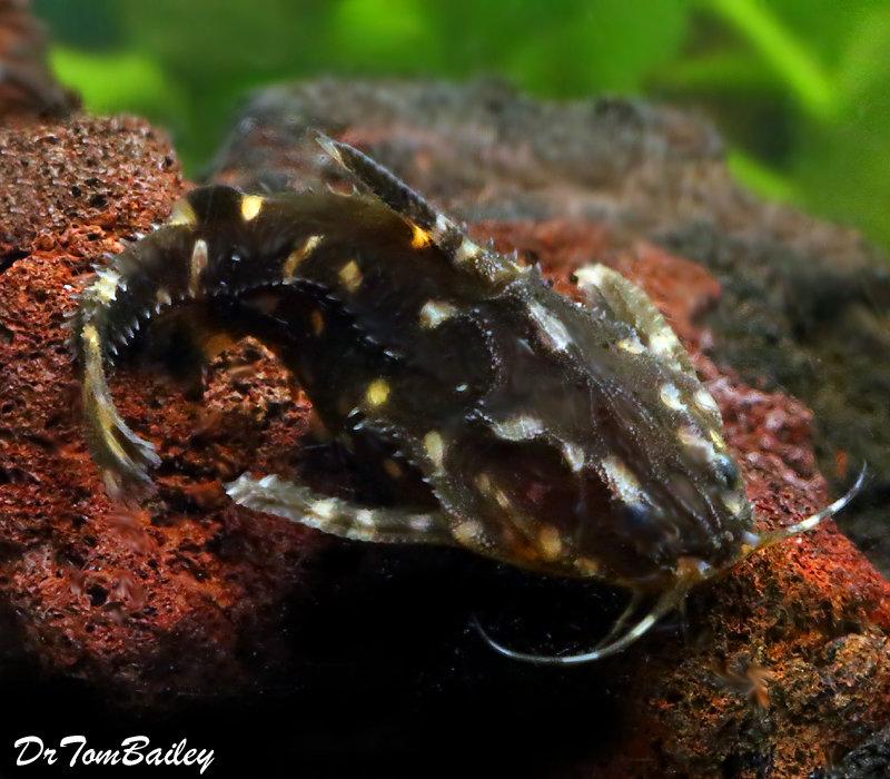 Premium WILD, Spotted Raphael Talking Catfish