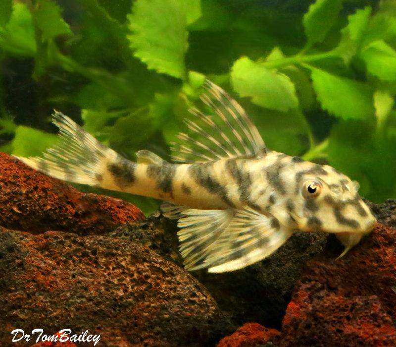 Premium WILD, Rare Candy Stripe Peckoltia Plecostomus Catfish, L015