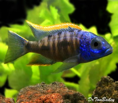 Premium Lake Malawi Yellow Blaze Aristochromis Cichlid from Zimbabwe Rock