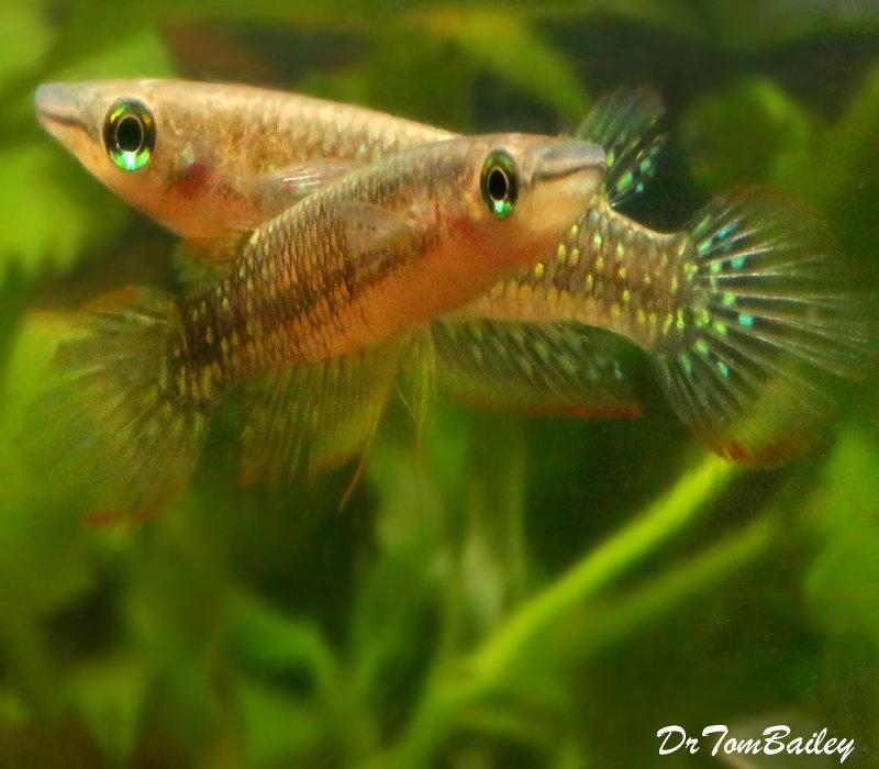 Premium Rare Striped Panchax Killifish