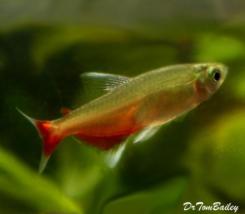 Premium Rare Green Fire Tetra, Aphyocharax rathbuni
