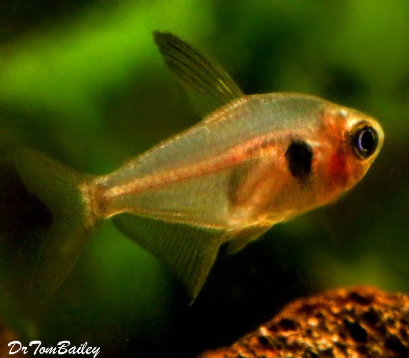 Premium Red Phantom Tetra