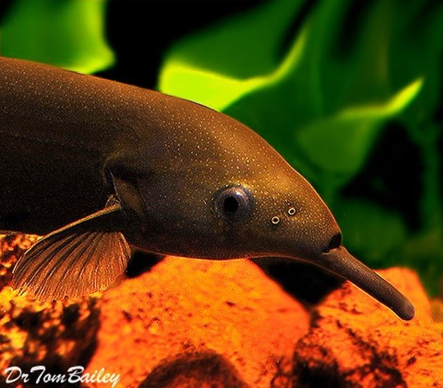 Premium WILD, Elephant Nose Fish