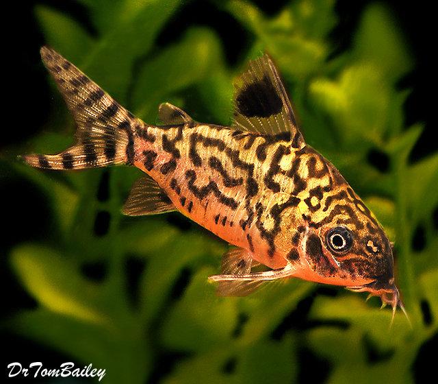 Premium WILD, Reticulatus Corydoras Catfish